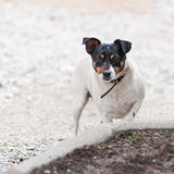 Jack Russell Terrier dog on nature background. Stock Photography