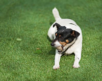 Jack Russell Terrier dog on nature background. Royalty Free Stock Photo