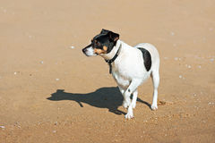 Jack Russell Terrier dog on nature background. Stock Photo