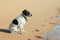 Jack Russell Terrier dog on nature background. Closeup royalty free stock image