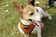 Jack russell terrier dog Stock Image