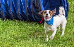 Jack Russell Terrier Dog på bakgrunden av grönt gräs arkivbilder