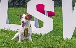 Jack Russell Terrier Dog på bakgrunden av grönt gräs royaltyfri fotografi