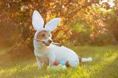 Dog wearing bunny ears painting and coloring eggs for Easter celebrations