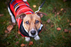 Jack russell terrier dog in park looking at camera Stock Images