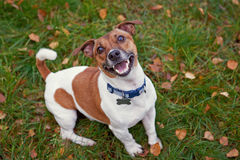 Jack russell terrier dog in park looking at camera Royalty Free Stock Image