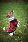 Jack russell terrier dog in park looking up Royalty Free Stock Photo
