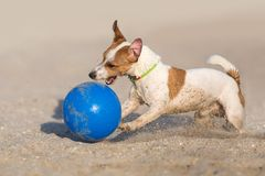 Jack russell terrier dog play ball stock image