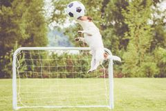 Defender football soccer player hits ball with head saving goal. Jack Russell Terrier dog playing football stock photos