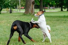 Jack Russell Terrier dog playing with playful Doberman Pinscher puppy at park Stock Photos