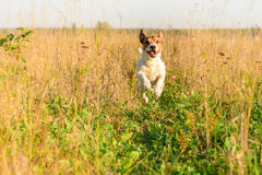 Jack Russell Terrier dog playing and running by footpath at summer field. Adorable dog runs through field Royalty Free Stock Photo