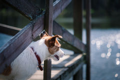 Jack Russell Terrier dog playing in water Royalty Free Stock Photos