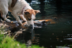 Jack Russell Terrier dog playing in water Royalty Free Stock Image
