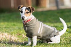 Jack russell terrier dog portrait at a park. Stock Photography