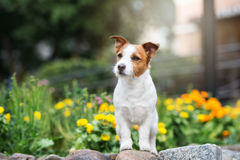Jack russell terrier dog posing in a park Royalty Free Stock Image
