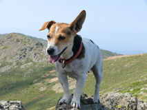 Jack Russell Terrier dog posing at stone Royalty Free Stock Images