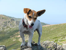 Jack Russell Terrier dog posing at stone Stock Photos