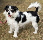 Jack Russell Terrier Dog preto e branco de cabelos compridos Imagem de Stock