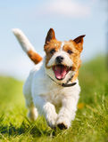 Jack Russell Terrier dog Royalty Free Stock Images
