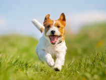 Jack Russell Terrier dog Stock Photo