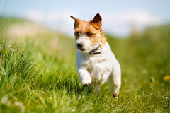 Jack Russell Terrier dog Stock Photography