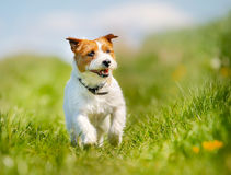 Jack Russell Terrier dog Royalty Free Stock Photo