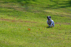 Jack Russell Terrier Dog Racing Across Yard Stock Image
