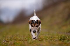 Jack Russell Terrier dog is running in autumn on a wide path royalty free stock photography