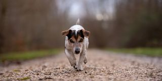 Jack Russell Terrier dog is running in autumn on a wide path through the forest royalty free stock image