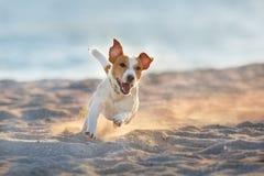 Jack russell terrier run seashore. Jack russell terrier dog running on a beach of sea stock photos