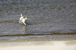 Jack Russell Terrier dog running on the beach Royalty Free Stock Images