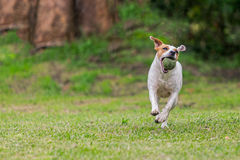 Jack Russell Terrier Dog Running Happy photographie stock