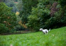 Jack Russell Terrier Dog Running heureux sur l'herbe photos stock