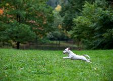Jack Russell Terrier Dog Running heureux sur l'herbe photographie stock