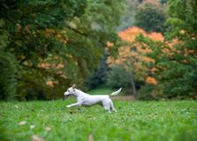 Jack Russell Terrier Dog Running heureux sur l'herbe photo stock