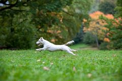 Jack Russell Terrier Dog Running heureux sur l'herbe images stock