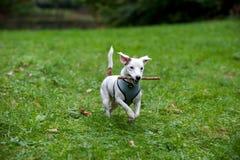 Jack Russell Terrier Dog Running heureux sur l'herbe avec l'arbre de branche dans la bouche images stock