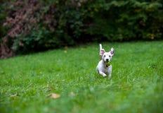Jack Russell Terrier Dog Running heureux sur l'herbe avec la boule dans la bouche photos stock