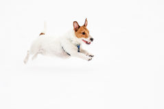 Jack Russell Terrier dog running on ice pond. Stock Photos