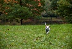Jack Russell Terrier Dog Running op het Gras met Takboom in Mond Stock Fotografie