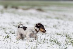 Jack Russell Terrier dog is running in a winter snowy meadow royalty free stock images