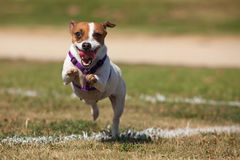 Jack Russell Terrier Dog Runs on the Grass Stock Images