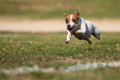 Jack Russell Terrier Dog Runs on the Grass. Energetic Jack Russell Terrier Dog Runs on the Grass Field Royalty Free Stock Image