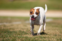 Jack Russell Terrier Dog Runs on the Grass Stock Photos