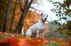 Jack Russell Terrier Dog Sitting heureux sur l'herbe feuilles d'automne à l'arrière-plan photo libre de droits
