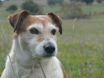 Jack Russell terrier dog sitting in paddock Stock Images