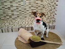 Jack russell terrier dog sitting on the rug in the bathroom royalty free stock photo