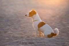 Jack russell terrier. Dog sitting on sand at sunset stock photos