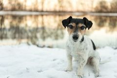 Jack Russell Terrier dog is sitting in the snow at a lake in winter royalty free stock photo