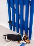Jack Russell Terrier Dog Sleeping photos libres de droits